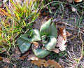 rosette d'orchidée