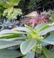 Le daphné protégé du genevrier montre déjà ses 1ères fleurs!