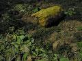 recolte des racines de la gentiane jaune