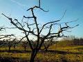 La taille des arbres fruitiers et aussi de la vigne se fait en hiver.