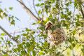 Remirez pendulinus, pájaro moscón