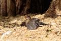 Mirlo común (Turdus merula)