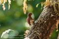 Ruiseñor común (Luscinia megarhynchos)
