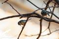 Herrerillos comunes (Parus caeruleus)