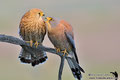 Pair lesser kestrel