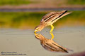 Stone curlew drinking