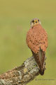 Big Kestrel from hide