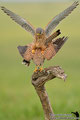 Kestrel in mating