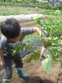 赤大根の収穫~♪