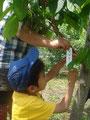 「ぽぽー」の樹です。どんな実がなるのかな?
