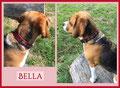 Stammkundin Beagle-Hündin Bella
