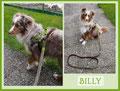 Mini-Aussie Rüde Billy... limone mit braun und beige