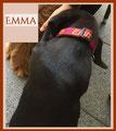 Labradorwelpe Emma mit einem stufenlos verstellb. HB