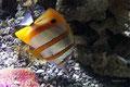 Pesce Farfalla dal Rostro