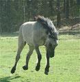 Rodeopferd Shadow