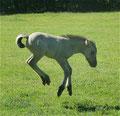 Was beim Fohlen lustig aussieht, kann später beim Reiten schnell unlustig werden... (Shadow)
