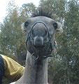 Marylin (Oder ein Kamel?) genießt die Bauchmassage!