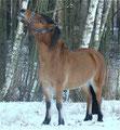 Wenn das Gras unter dem Schnee versteckt ist, besorgt sich Ronja Zweige.