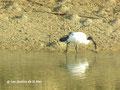 Ibis sacré (Threskiornis aethiopicus) en quête de son déjeuner