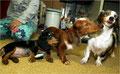 Пример дабл-мерля (двойной мрамор, оба родителя этих собак - мраморного окраса)