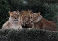 Drei Löwen / Leehmann Claude