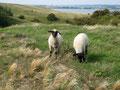 Schafe Mönchgut
