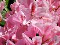 Rhododentronsträucher im Garten Ferienhaus Naturidylle