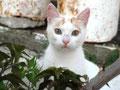 Korfiotische Katze