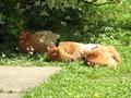 glückliche Hühner nach dem Mittagessen