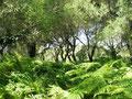 Farnwald mit Olivenbäumen