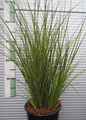 Carex testacea 'Lime Shine'