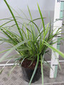 Carex morowii 'Ice Dance'