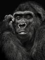 Gorilla - Stephan Graf