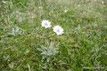 Argentinien_Feuerland_Ushuaia_Sommerblume
