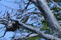 Argentinien_Perito Moreno NP_Wanderung auf der Belgrano Halbinsel - Specht