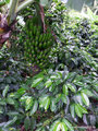 Kolumbien_Tierradentro_Kulturpflanzen