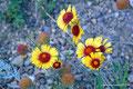 Kanada_Saskatchewan_Cypress Hills PP_Eine der vielen Wildblumen