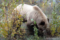 Kanada_Yukon_Alaska Highway_Grizzly8