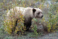 Kanada_Yukon_Alaska Highway_Grizzly1