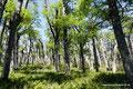 Chile_Pucón_Villarrica NP_Südbuchenwald1