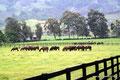 Panama_Cerro Punta_Haras Gestüt_Glückliche Pferde