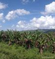 Belize_Stann Creek District_Bananenplantage