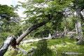 Argentinien_El Chaltén_Durch Südbuchenwald hoch auf den Loma del Pliegue Tumbado1