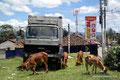 Guatemala_Westen_Chichicastenango_Kühe und Pancho stehen auf dem Sportfeld