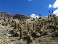 Peru_Cordillera Blanca_Puya Raimondii-Ananasgewächse4