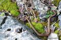 Kanada_Ontario_Bruce Peninsula NP_Eine von 10 Schlangen an diesem Tag