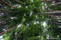 Costa Rica_Paraíso_Botanischer Garten Lankester-Bambus