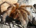 Chile_Yerba Loca Park_Wunderschöne Vogelspinne