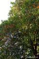 USA_Kalifornien_Sacramento_Orangen im Park
