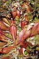 Kanada_Neufundland_Nationalblume Neufundlands-Kannenpflanze